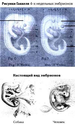 Сфальсифицированные рисунки Э.Геккеля 4-х недельных эмбрионов собаки и человека (сверху) и то, как выглядят НАСТОЯЩИЕ эмбрионы собаки и человека на 4-й неделе (снизу)