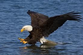The bald eagle, a symbol of Alaska.