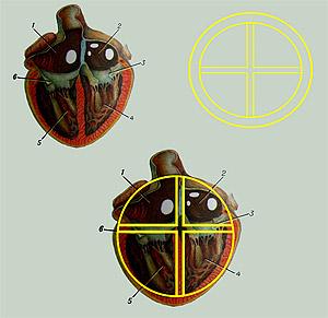 На первом рисунке фронтальный разрез сердца. Условные обозначения: 1 - правое предсердие; 2 - левое предсердие; 3 - фиброзное кольцо двустворчатого атриовентрикулярного клапана; 4 - левый желудочек; 5 - правый желудочек; 6 - фиброзное кольцо трехстворчатого атриовентрикулярного клапана. На втором рисунке Крест круглый «нахлебный». Когда-то давно, еще задолго до пришествия Христа, на Востоке был обычай надрезывать хлеб крестообразно. То было символическое действо, которое означало, что крест, разделяющий целое на части, соединяет тех, кто употребил эти части, исцеляет разделенность. По свидетельству Горация и Марциала, первохристиане надрезывали круглый хлеб крестообразно. В прямой связи с Таинством Причащения, на потирах, фелонях и других вещах, изображался хлеб как символ Тела Христова преломляемого за наши грехи. Такие круглые хлебы, разделенные на четыре части крестом, изображены в надписи Синтофиона. Круг же означает, по объяснению Климента Александрийского, что «Сам Сын Божий есть круг, в коем все силы сходятся». На третьем рисунке наложение «нахлебного» Креста на рисунок фронтального разреза сердца. Наружная стенка сердца представляет собой окружность. Межпредсердная и межжелудочковые перегородки вместе с фиброзными кольцами клапанов представляют собой крест.