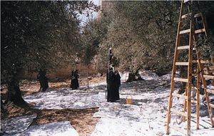 Sisters of the convent gathering olives from the trees planted by Fr. Parthenius