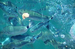 Загрузить увеличенное изображение. 1000 x 664 px. Размер файла 156513 b.  Рыба на Афонском побережье приближается к человеку без страха