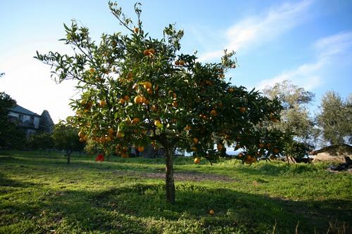 Вершина горы Афон покрыта снегом, а у моря на деревьях зреют сладкие апельсины