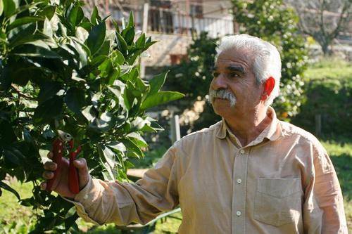 Уход за апельсиновым деревом. Отец одного из монахов приехал проведать сына и помогает в саду