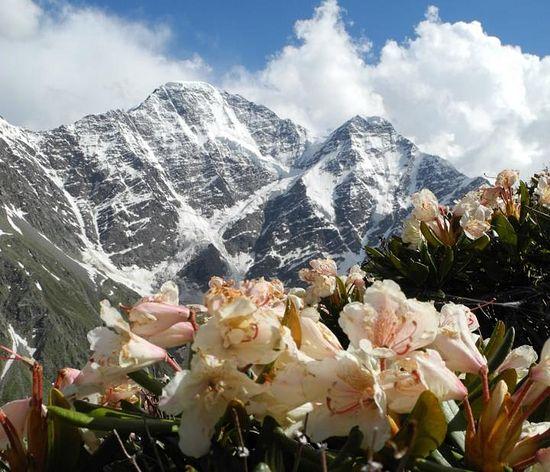 В горах зацвели рододендроны