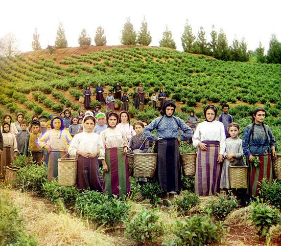 A group of workers picking tea leaves: Greek women, Village of Chakva. Photo by S. M. Prokudin-Gorsky.