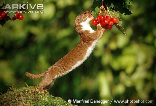 Ласка ест ягоды. Фото: Манфред Данеггер / PhotoShot.Com