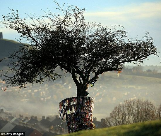 The Glastonbury Thorn. Photo: Getty images.