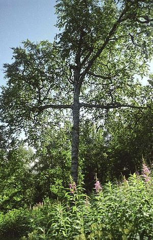 A birch tree on Anzersk Island, Solovki. This tree, which marks otherwise unmarked graves of victims of Soviet repression in the Solovki camps, miraculously grew in the form of a cross.
