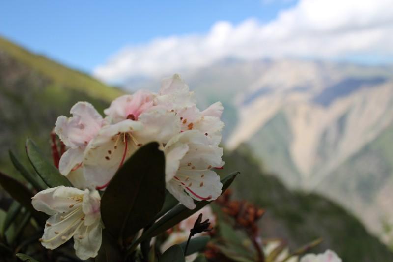 Цветущий рододендрон . Для кого цветут на такой высоте эти прекрасные цветы? Кто их видит? Никто,  кроме орлов, серн, диких пчел и Того, кто их создал.