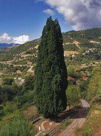 Кипарис Зеленицы