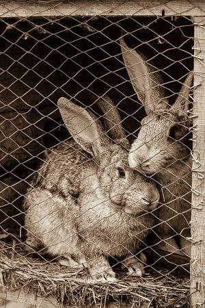 На подворье целая кроличья ферма