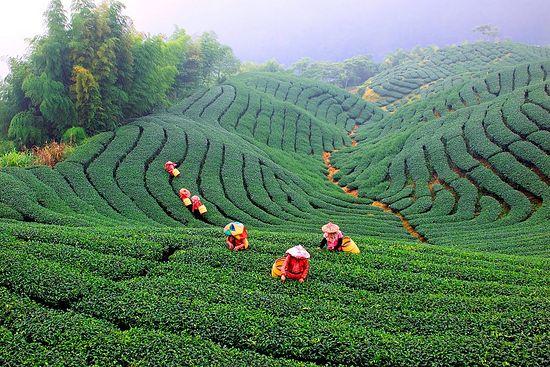 Сбор чая на Тайване