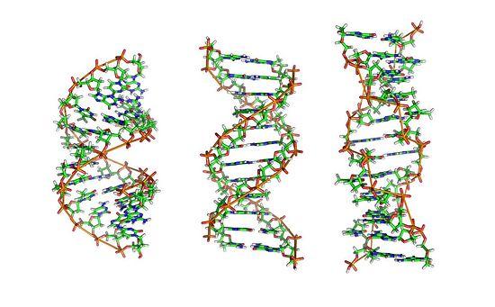 Двойная спираль ДНК в живых организмах. Формы A, B и Z