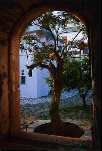 159. Никомидийская маслина у алтаря Свято-Пантелеимоновского собора. (Ныне не существует)