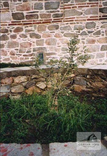 160..«Маслина Пантелеимона» в Россиконе. 2001 г.. Фото: Анатолий Холодюк