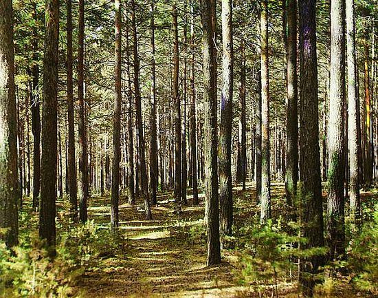Russian forest - 1910