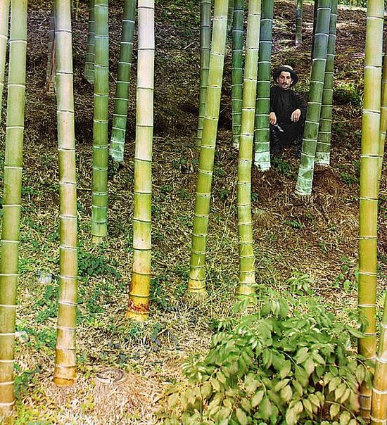 Man sitting among bamboo trees - between 1909-1915