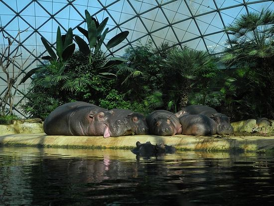 Бегемоты берлинского зоопарка