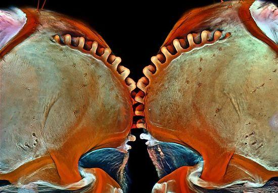 Конфокальная микроскопия, увеличение в 200 раз. Фото: Igor Siwanowicz / Olympus BioScapes Digital Imaging Competition