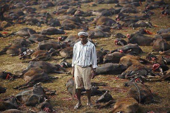 Барьяпур, Непал. Мясник среди буйволов, принесенных в жертву во время ритуальной церемонии