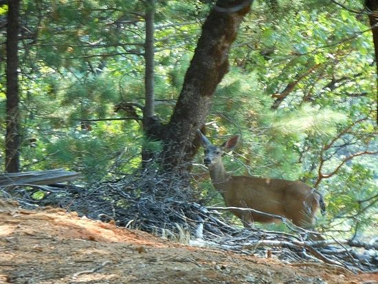 A deer in the woods near Fr. Seraphim's grave