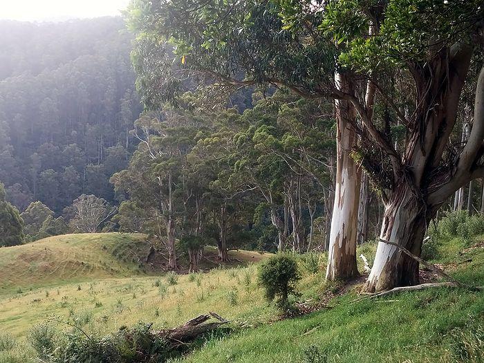 Эвкалипты в Снежных горах Австралии