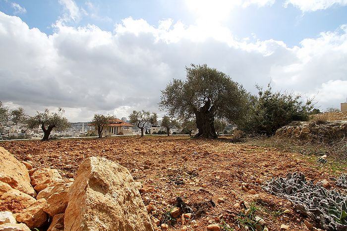 Олива возрастом около трех тысяч лет