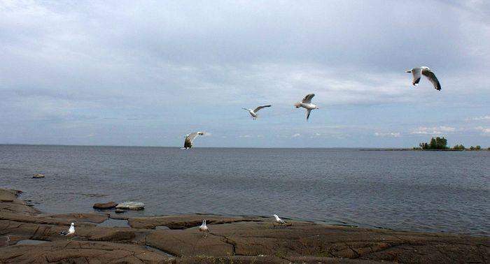 Соловецкие чайки