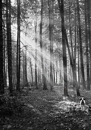 Утро в дунинском лесу. Вторая половина 1940-х. Фото: Михаил Пришвин